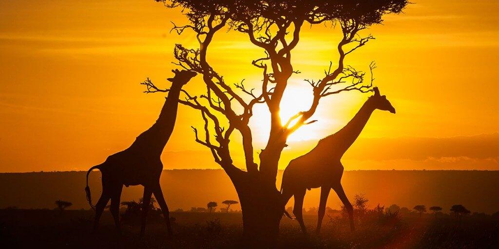 girafes-safari-kenya